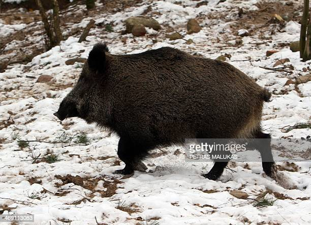 A wild boar wals in the forest in Varcia Alytus region Lithuania on February 2 2014 It's open season on wild boar after Vilnius ordered a record cull...