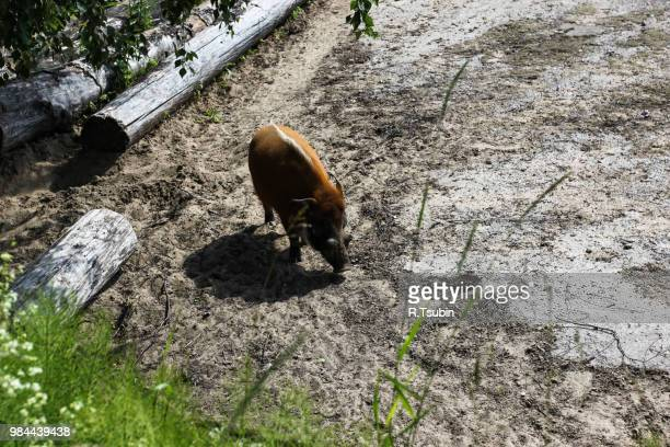 wild boar warthog in the zoo - ugly pig stock pictures, royalty-free photos & images