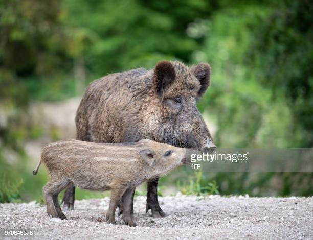 wild boar, wildschwein, with piglet / ferkel - animal family stock pictures, royalty-free photos & images