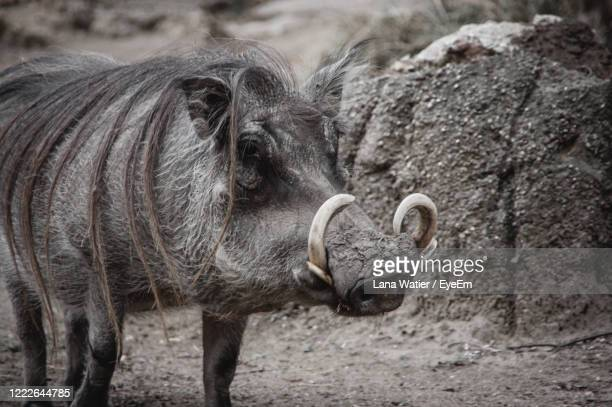 wild boar with fur - tusk stock pictures, royalty-free photos & images