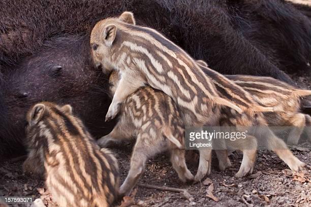 Wild Boar with newborn piglets