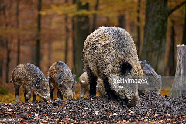 Wild boar with piglets digging up food in the soil with its snout in autumn forest in the Belgian Ardennes, Belgium.