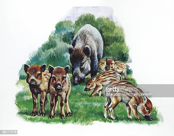 Wild boar with young illustration