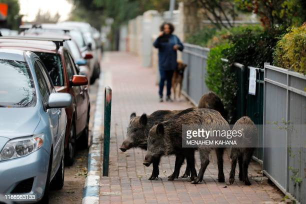 Wild boars gather in a residential area in the northern Israeli city of Haifa on December 5, 2019. - Dozens of wild pigs have taken up residence...