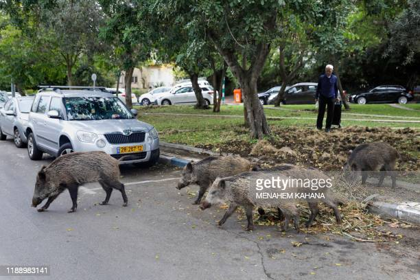 Wild boars gather in a residential area in the northern Israeli city of Haifa on December 5 2019 Dozens of wild pigs have taken up residence inside...