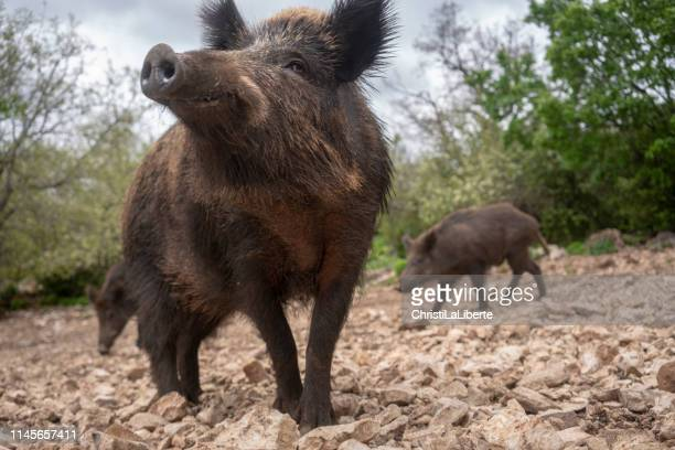 wild boars in provence - wild boar stock pictures, royalty-free photos & images