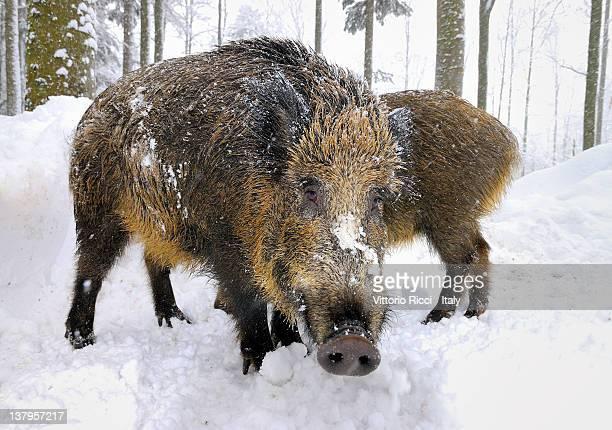 Wild boars in snow