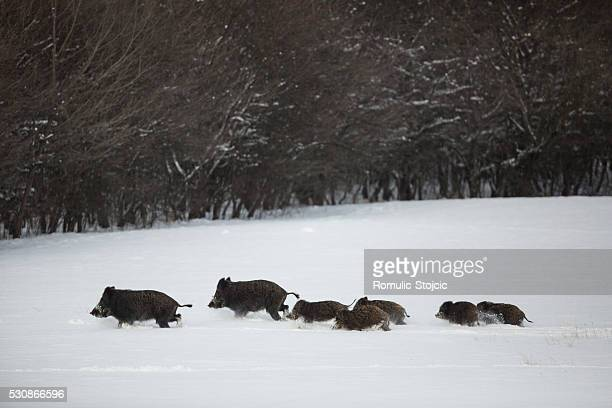 Wild boars running in snow