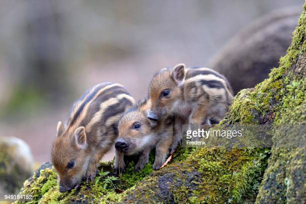 Wild boars (Sus scrofa), shoats on a mossy tree trunk, captive, North Rhine-Westphalia, Germany