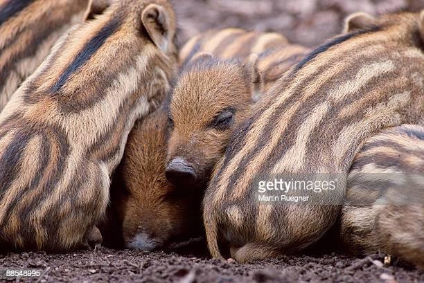 Wild boars snuggling