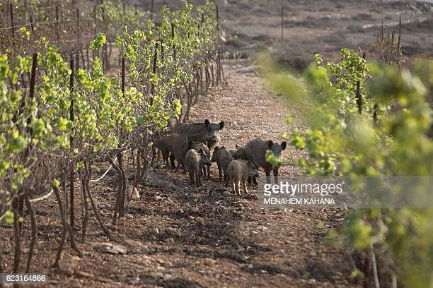 Wild boars stand in a vineyard at the Jewish outpost of Kida a wildcat Jewish settlements built on private Palestinian land in the Israeli occupied...