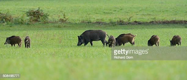 Wild Boars -Sus scrofa- feeding on a meadow, Diersfordter Wald, North Rhine-Westphalia, Germany