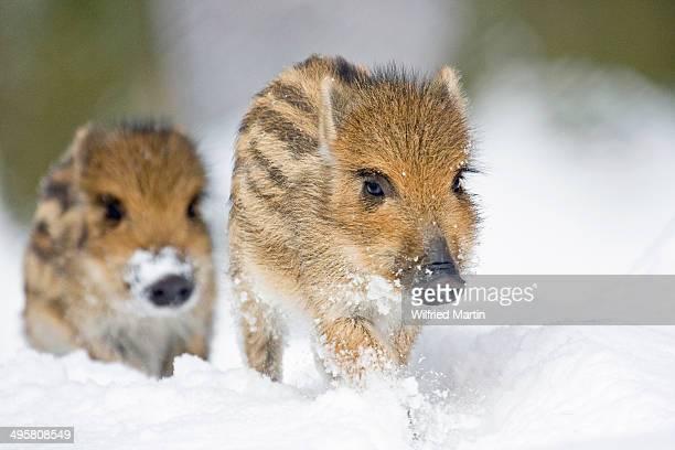 wild boars -sus scrofa-, piglets in the snow, tierpark sababurg, hofgeismar, hesse, germany - wildschwein stock-fotos und bilder