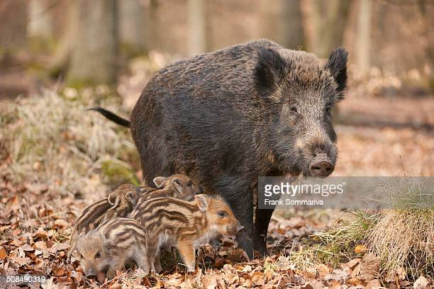Wild Boars -Sus scrofa-, sow and piglets, captive, North Rhine-Westphalia, Germany