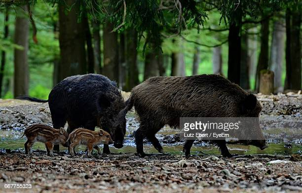 Wild Boars Walking At Lakeshore In Forest