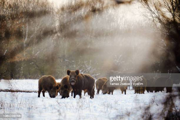 wild boars walking on snow covered land - wild boar stock pictures, royalty-free photos & images
