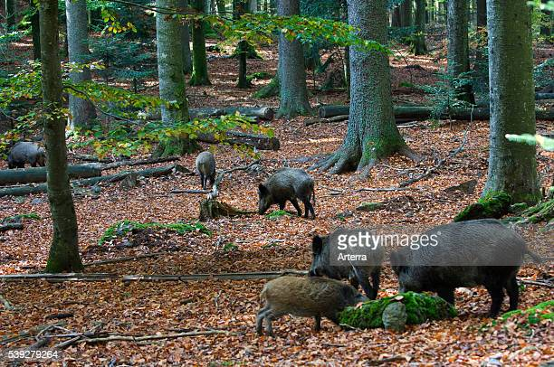 Wild boars with juveniles foraging for food in leaf litter in autumn forest
