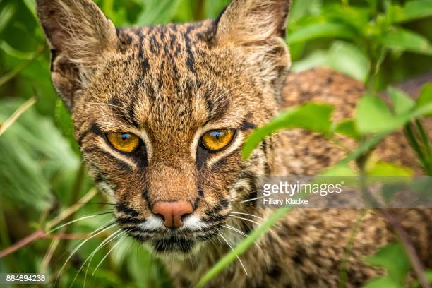 wild bobcat in bushes - lynx stock photos and pictures