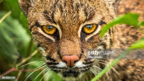 Wild Bobcat in bushes