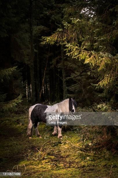 Wild Bodmin Pony in a woodland near Bodmin Moor in Cornwall.