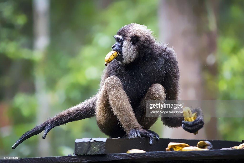 Wild Borneo Gibbon