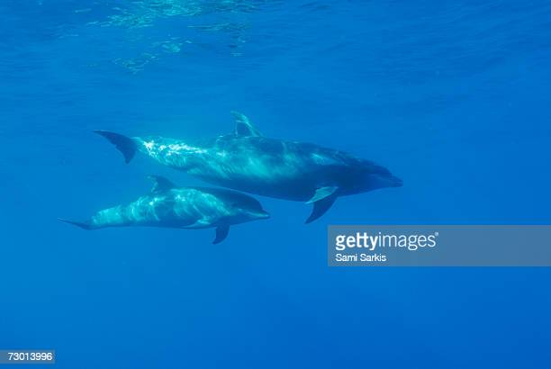 Wild Bottle-nosed dolphin (Tursiops truncatus) mother and calf, underwater view