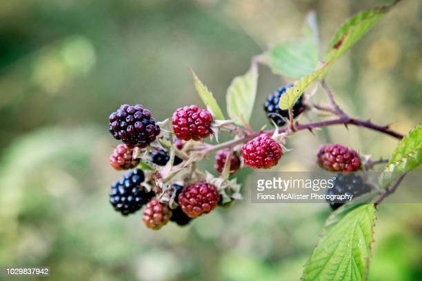 wild bramble blackberries growing outdoors in british hedgerow - september stock pictures, royalty-free photos & images