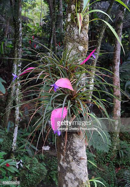 wild bromeliad in el yunque rainforest - bromeliad stock pictures, royalty-free photos & images
