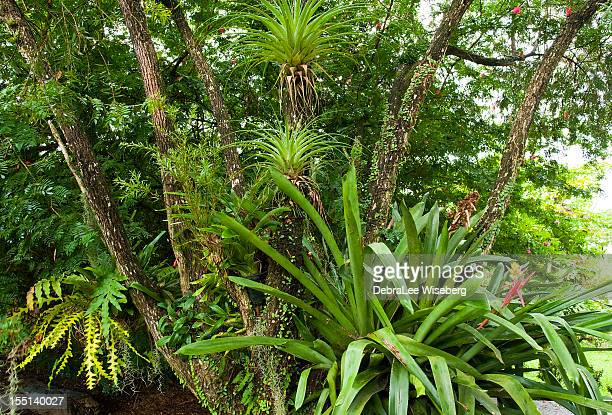 wild bromeliads - bromeliad stock photos and pictures