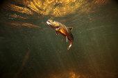 Wild Brook Trout Underwater