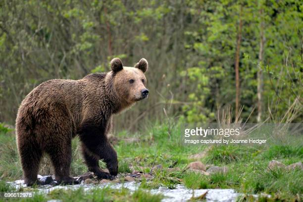 Wild Brown Bear in the Carparthian Mountains