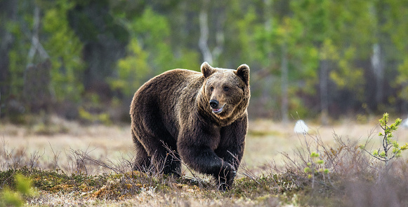 Wild Brown Bear on the bog in spring forest. 1060826308