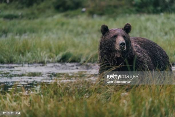 wild brown bear walking  in forest - nature reserve stock pictures, royalty-free photos & images
