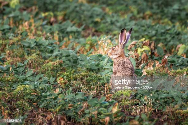 wild brown hare (lepus europaeus) eating leaves on a field, kragujevac, serbia - rabbit stock pictures, royalty-free photos & images