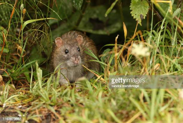a wild brown rat, rattus norvegicus, eating seads on the ground at the edge of a lake. - rat stock pictures, royalty-free photos & images