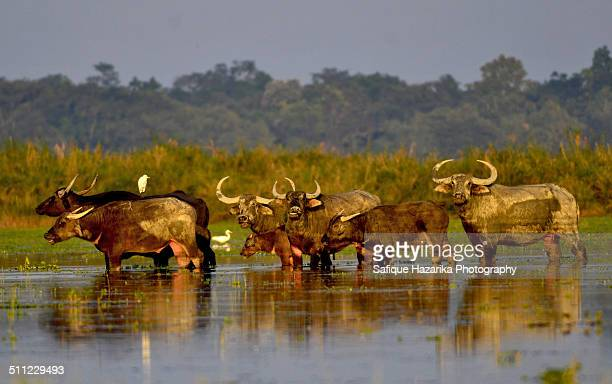 Wild buffalo gang