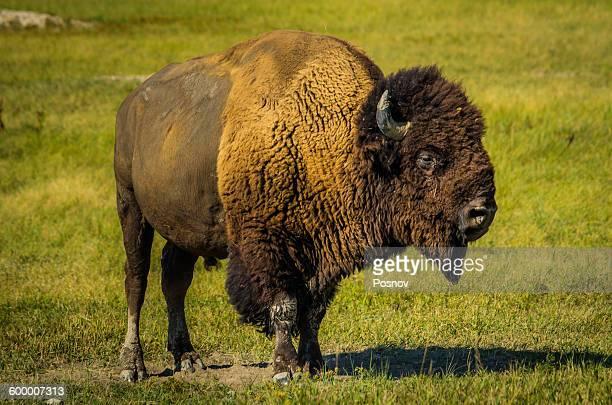 wild buffalo - black hills - fotografias e filmes do acervo