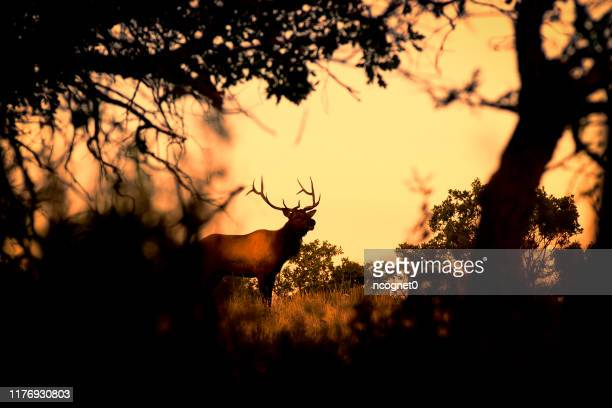 wild bull elk - wapiti foto e immagini stock