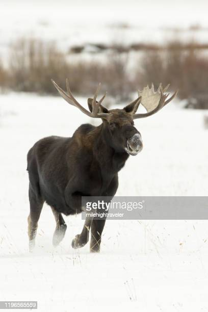 wild bull moose walks snowy round prairie yellowstone national park wyoming - milehightraveler stock pictures, royalty-free photos & images