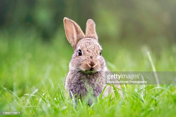 wild bunny rabbit in short grass - animals in the wild stock pictures, royalty-free photos & images