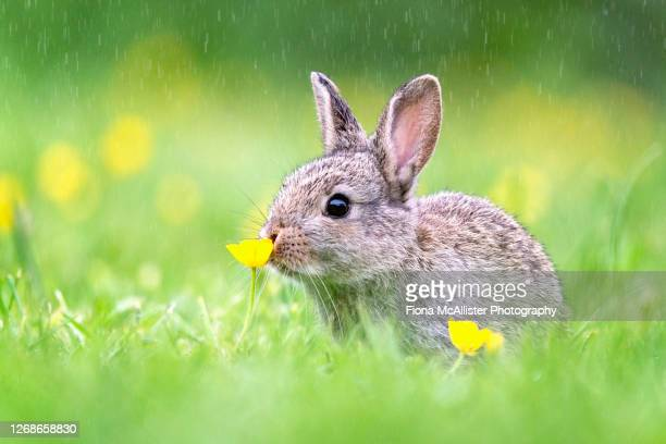 wild bunny rabbit sniffing flower - easter stock pictures, royalty-free photos & images