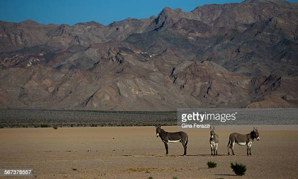 Wild burros hang out near a dry lake bed in front of the Silurian Hills on October 9 2014 in Silurian Valley California The serene landscape could...