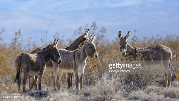 wild burros in the desert - donkey stock pictures, royalty-free photos & images