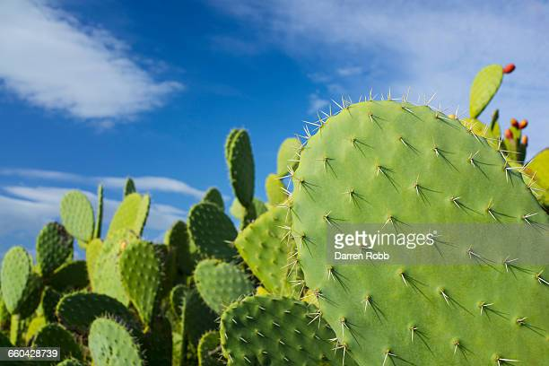 Wild cactus on hillside, Nafplio, Greece