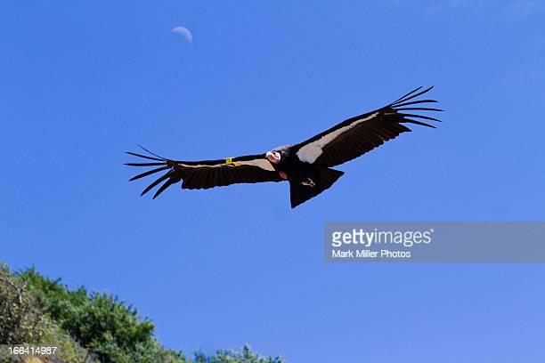 wild california condor and crescent moon - california condor - fotografias e filmes do acervo