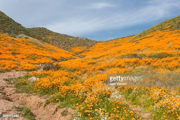 Wild California Poppies...1