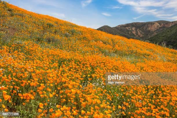 Wild California Poppies...2