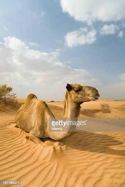 wild camel dromedary