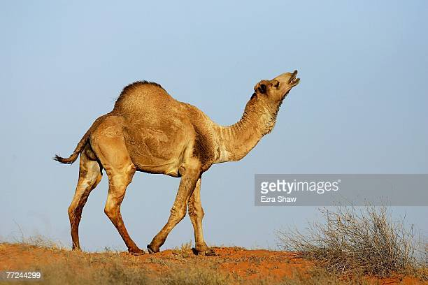 A wild camel stands on top of a sand dune just off the course of the Simpson Desert Bike Challenge race on October 2 2007 in the Simpson Desert...