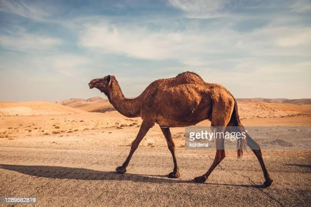 wild camel walking in the desert - um animal - fotografias e filmes do acervo